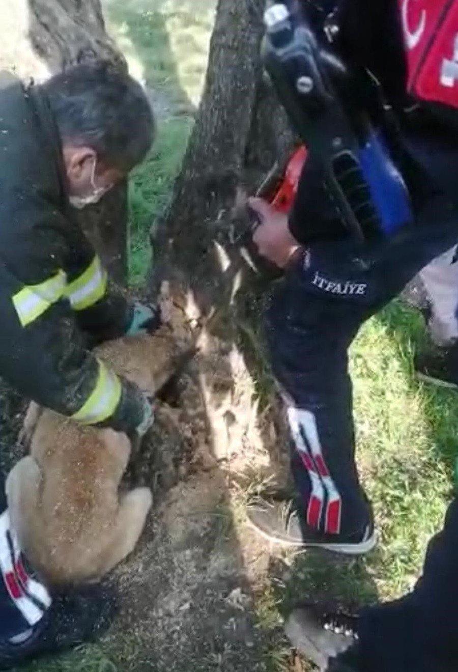 Kafası Ağaç Kavuğuna Sıkışan Köpeği İtfaiye Kurtardı