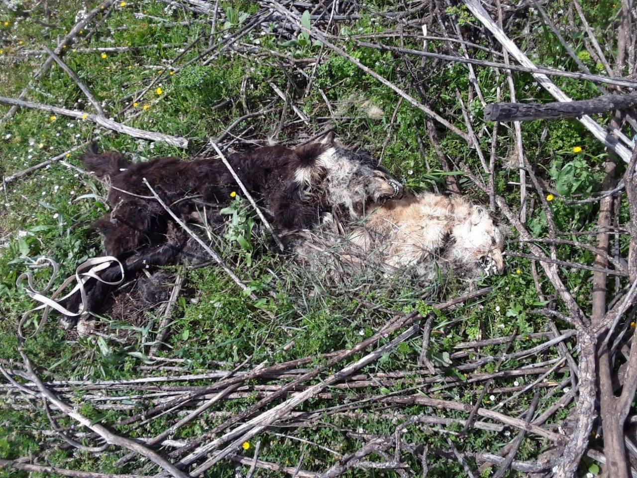 Kokuya Giden Çoban, Vahşeti Ortaya Çıkardı