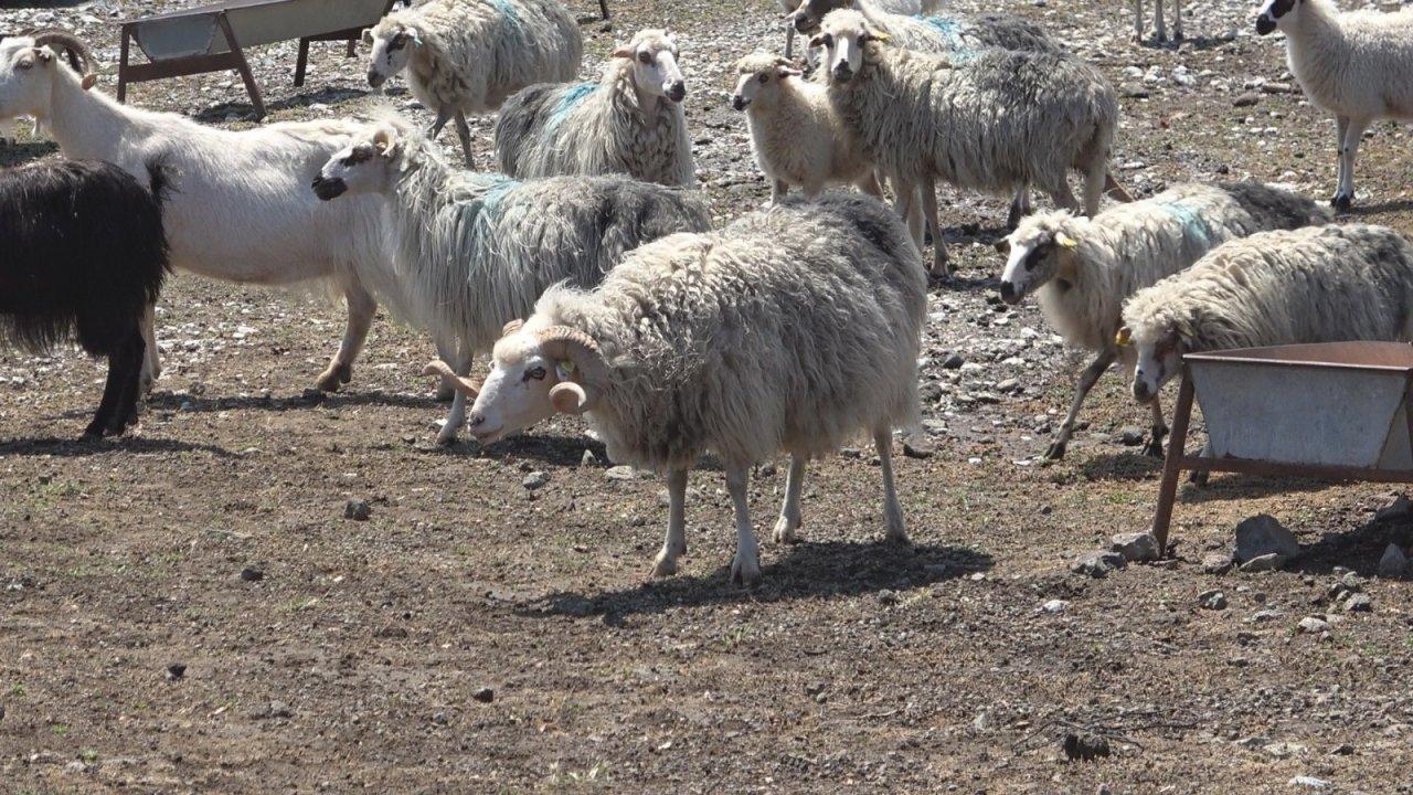 Koyun Keçi Dünyası, Gökçeada İle Sahaya İniyor