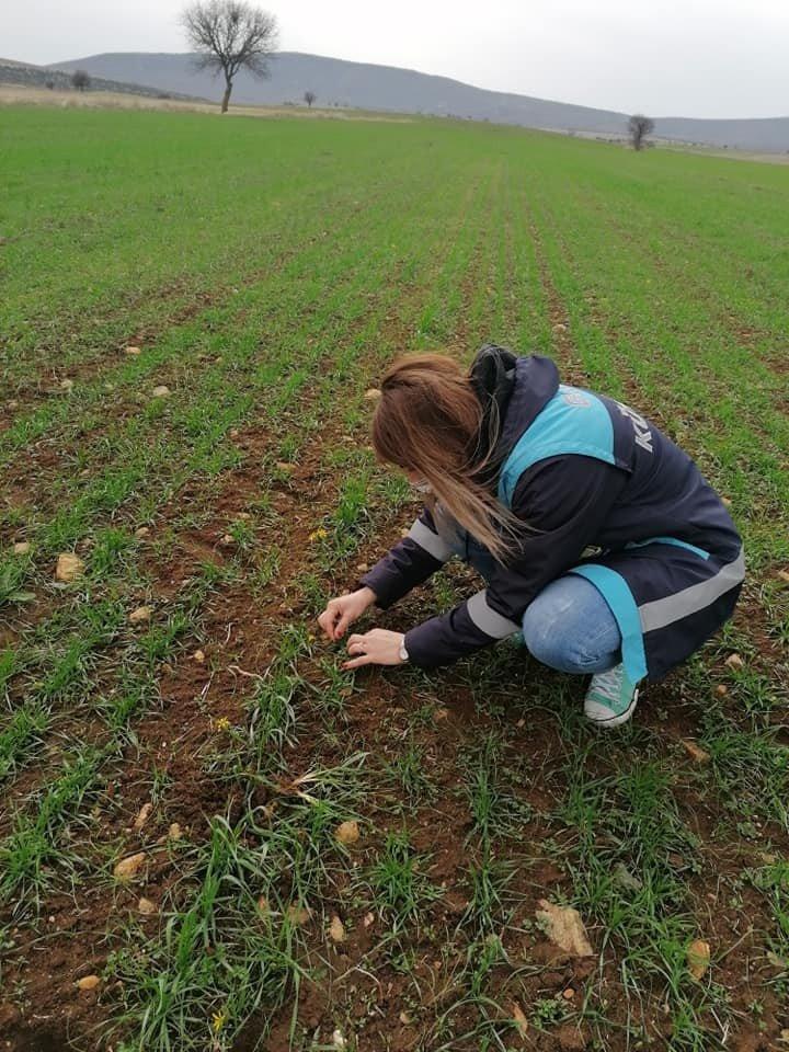 Aslanapa'da ''tekfen 2064 Elit 1'' Çeşidi Buğday Kontrolleri Yapıldı