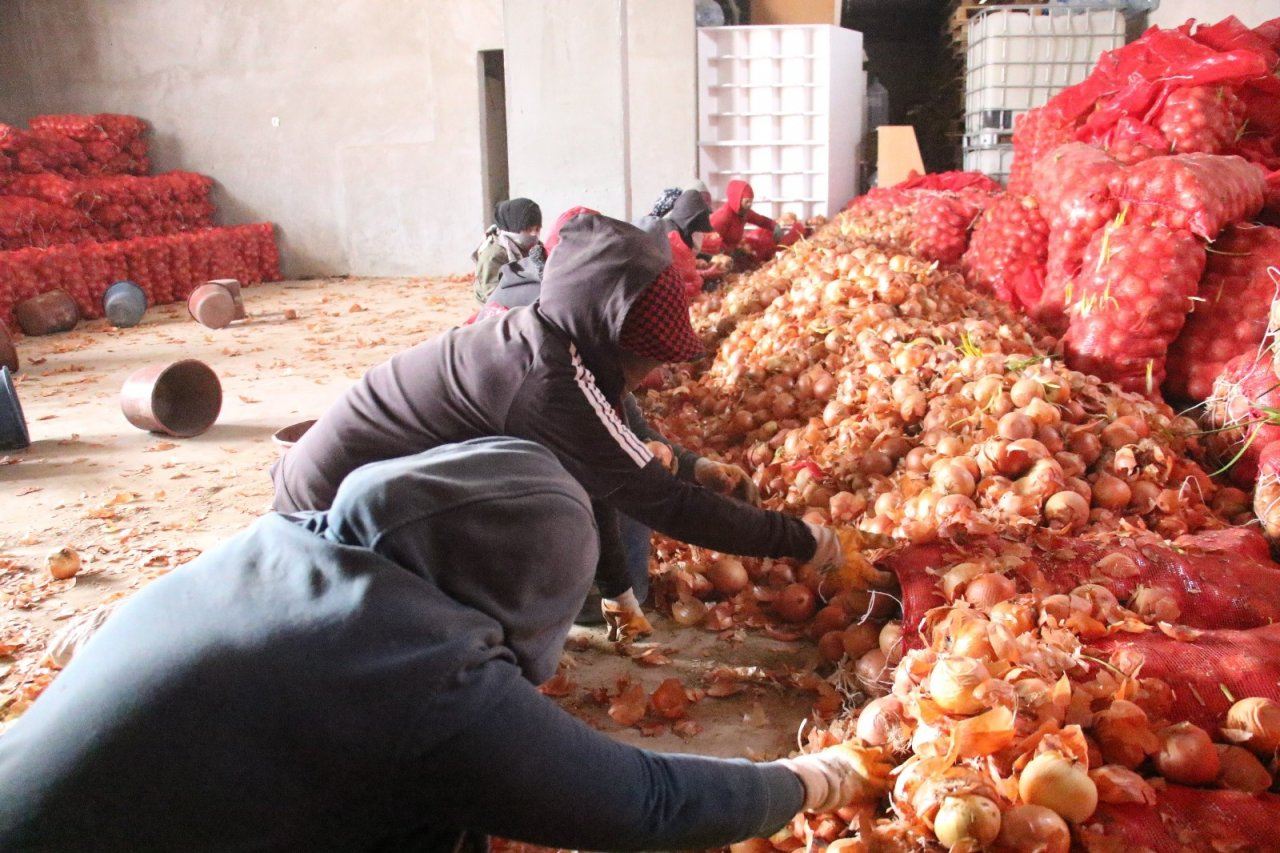 Çiftçiden Alınan Soğan Ücretsiz Olarak İhtiyaç Sahiplerine Dağıtılacak
